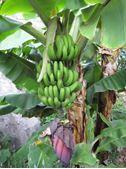 Immagine per la categoria Musa Banana